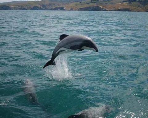 maui-dolphin-600